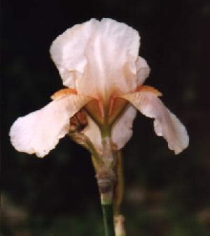 The Fleur De Lys